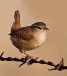 4132b6534d1a8314a3805189e69a38c2--wren-bird-watching