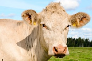 the-cow-2966575_960_720